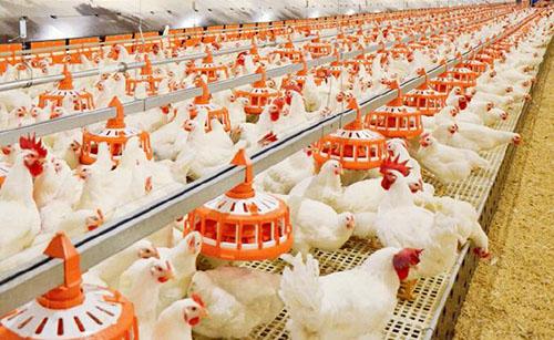 양계에 필요한 장비 – 닭 사료 제조기 가격